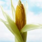 Festa do Milho Verde começa nesta sexta!